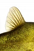 stock photo of fin  - dorsal fin fish tench colorful under water - JPG