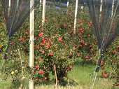 stock photo of orchard  - Apple orchard with red ripe apples on the trees - JPG