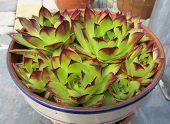 foto of spiky plants  - Potted Sempervivum plant - JPG