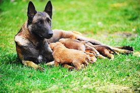 picture of lactating  - female dog of belgian shepherds malinois with puppies - JPG