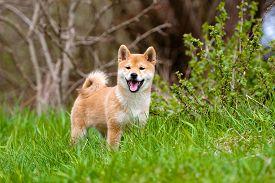 image of akita-inu  - red three months old shiba inu puppy - JPG