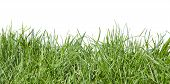 Grass On White Background poster