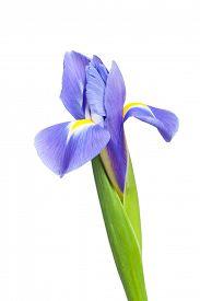 image of purple iris  - Purple iris flower isolated on white background - JPG