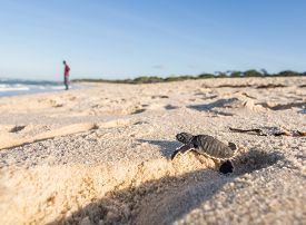 picture of footprint  - Small green sea turtle  - JPG