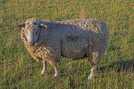 picture of augen  - Schaf von der Seite auf einer Wiese schaut zur Kamera Sheep from the side in a meadow looking to the camera - JPG