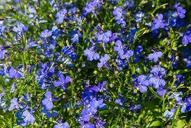 foto of lobelia  - Lobelia is a genus of flowering plants of Campanulaceae family generally known as lobelias - JPG