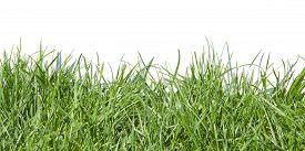 stock photo of grass  - Photo grass grass on white background grass in sunlight part of the meadows juicy grass green grass - JPG