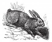 Постер, плакат: Northern hare Lepus americanus or Snowshoe Hare or Varying Hare vintage engraved illustration Tro