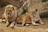 stock photo of zoo animals  - angola lion panthera leo bleyenbergi zoo  - JPG