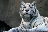 picture of white-tiger  - bengali tiger in zoo - JPG