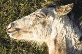 stock photo of appaloosa  - Color portrait photo of a Beautiful appaloosa foal sleeping - JPG