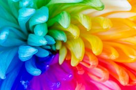 image of transpiration  - Colorful of rainbow Chrysanthemum flower background texture - JPG