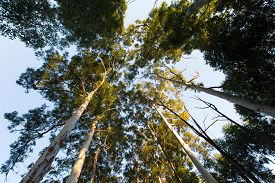 picture of eucalyptus leaves  - Looking up among very high eucalyptus trees with green leaves - JPG