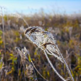 stock photo of novosibirsk  - The first frost. Cobwebs on the grass covered with frost. Russia,Siberia,Novosibirsk region,Kolyvan district, coast of the river Chaus ** Note: Shallow depth of field - JPG