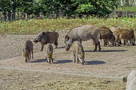 pic of boar  - wild boars living in captivity fenced area - JPG