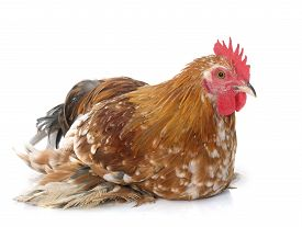 foto of bantams  - bantam rooster in front of white background - JPG