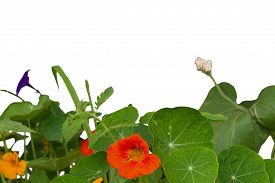 stock photo of nasturtium  - nasturtium flowers and leaves on a white background - JPG