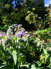stock photo of borage  - A Honey bee full of pollen approaches a borage flower for nectar - JPG
