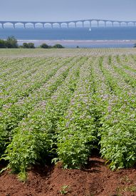 image of potato-field  - Rows of flowering potato plants in a potato field with the Confederation Bridge in the distant background - JPG
