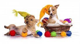 stock photo of gnome  - Portuguese Podengo puppy in gnome hat - JPG