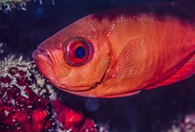 stock photo of bigeye  - Priacanthidae the bigeyes are a family of 18 species of marine fishes - JPG