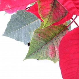 pic of poinsettia  - red poinsettia tree isolated on white background - JPG