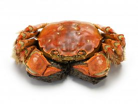 foto of cooked crab  - steamed chinese mitten crab - JPG