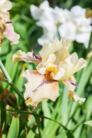 stock photo of purple iris  - beautiful flower iris closeup - JPG