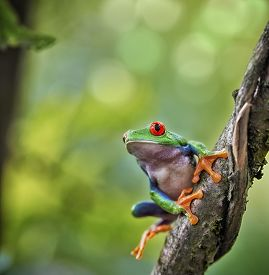 stock photo of red eye tree frog  - red eyed tree frog Costa Rica tropical rain forest animal - JPG