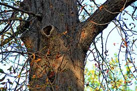 picture of hollow log  - Trunk of an old tree with a hollow - JPG