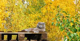 picture of scottish-fold  - Scottish fold cat lying on a wooden platform on the background of yellow autumn trees - JPG