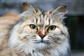 Portrait Of A Beautiful Siberian Cat. Muzzle Of A Cat. Green Eyes. Face Close-up poster