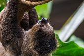 Linnaeuss Two-toed Sloth poster