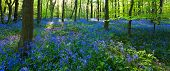 Panoramic View Of A Bluebell Wood