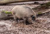 One Hairy Pork In The Mud. Wildlife And Farming Concept. poster