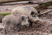 Two Hairy Porks In The Mud. Wildlife And Farming Concept. poster