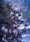 Spring Blossom Background In Beautiful Blue Tones With Bokeh Lights. Blooming Tree Flowers In Pink S poster