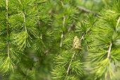 Greens, Young Green Fir Cone, Coniferous Tree On The Background Of Fir Needles, Fir Cone, Fir Branch poster