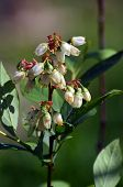 Blueberry branch Vaccinium corymbosum, which is in the stage of budding and flowering. There is a fl poster