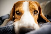 Beagle Dog Laying On Blanket On A Couch. Looking Sad Or Sick. Tired Dog poster