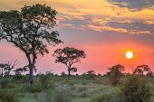 African Savanna Plain Overview With Trees Bushes And Grass At Sunset In Kruger National Park South A poster