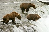 image of grizzly bears  - Grizzly bears fishing for salmon Brooks Falls Katmai NP Alaska - JPG