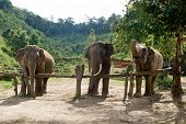 Group Of Adult Elephants In Elephant Care Sanctuary, Chiang Mai Province, Thailand. Feeding Of Eleph poster