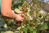Raspberries Harvesting, Harvest Raspberries On The Bush, Hand Picking Raspberries, Ripe Raspberries, poster