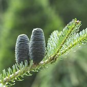 Cones Of The Korean Blue Fir, Purple Coniferous Cones On The Branch Of Fir Tree. Two Purple Cones On poster