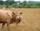 Beef Cow And Calf Looking At Camera In A Dry Pasture Field With Cows Behind And Treeline With Barn poster