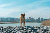Young Pedigree Dog Resting On The Beach. Red Shiba Inu Dog Standing Near The Black Sea In Novorossiy poster