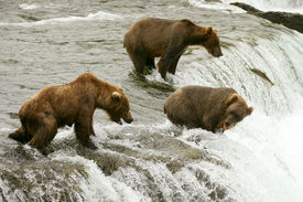 pic of grizzly bear  - Grizzly bears fishing for salmon Brooks Falls Katmai NP Alaska - JPG