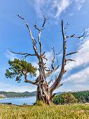 Постер, плакат: Корявая вечнозеленое дерево в Вашингтон парк Анакортъс Вашингтон