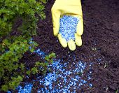 stock photo of fertilizer  - Fertilizer to pour in hands with glove - JPG
